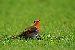 A bird on the pitch during play - Mandatory by-line: Matt McNulty/JMP - 11/02/2018 - FOOTBALL - St James Park - Newcastle upon Tyne, England - Newcastle United v Manchester United - Premier League