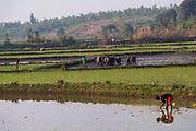 Growing rice at Anosy, Toliara province, Madagascar.