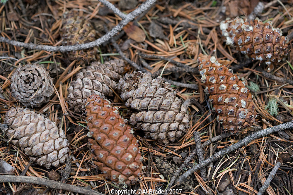 Pine cones at Hayden Pass near Coaldale, Colorado