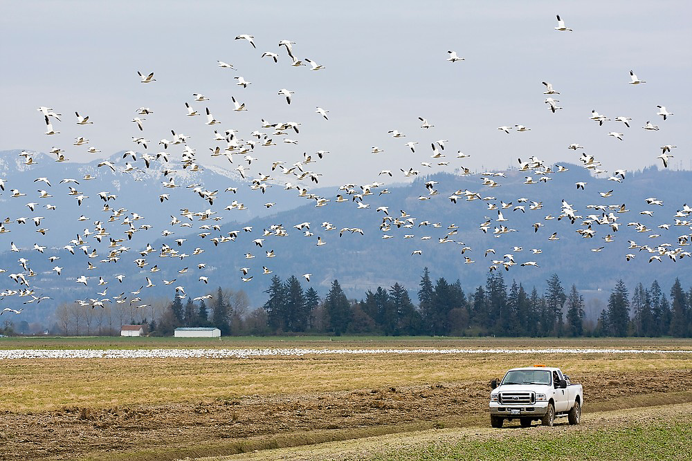 A pickup truck scares off a flock of snow geese from a farmer's field in Skagit Valley, Washington where thousands winter each year before traveling to the Arctic to nest.