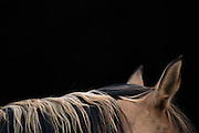 Highlights is a limited edition showing the beautiful quality and colors of a wild mustangs mane with blonde and black colors woven together capturing a serene moment.
