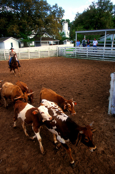 young man herding cattle while onlookers watch