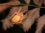 Close-up of a ginger coloured female Garden spider (Araneus diadematus) resting on leaves in a Norfolk wood in late summer
