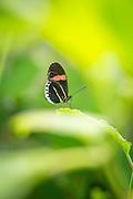 Heliconius erato butterfly, (captive).Mashpi Reserve, Ecuador, South America