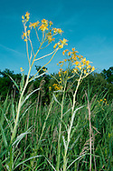 FEN RAGWORT Senecio paludosus. Height to 2m. A tall, downy perennial of damp soils. Flowers are yellow and 3-4cm across (June-Aug), and the leaves are narrow, lanceolate toothed and 15-20cm long. Rare and restricted to a few fenland sites.
