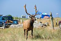Male Roosevelt elk - Cervus canadensis roosevelti - in campground at Gold Bluffs Beach, Prairie Creek Redwoods state park, California