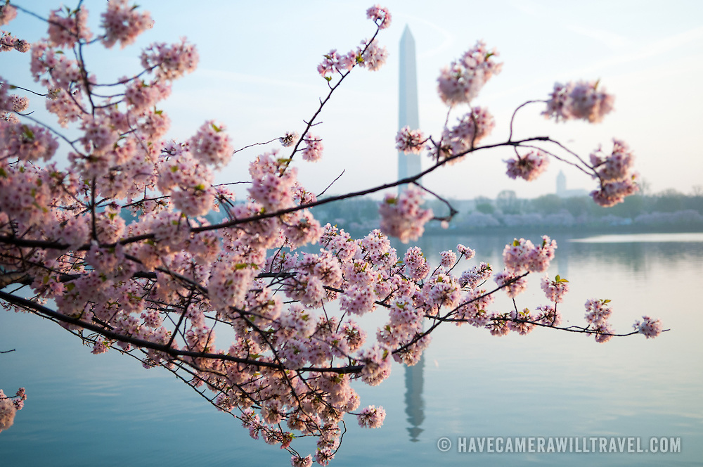 Pink cherry blossoms in the foreground, with the Washington Monument in the background casting a reflection on the still waters of the Tidal Basin.
