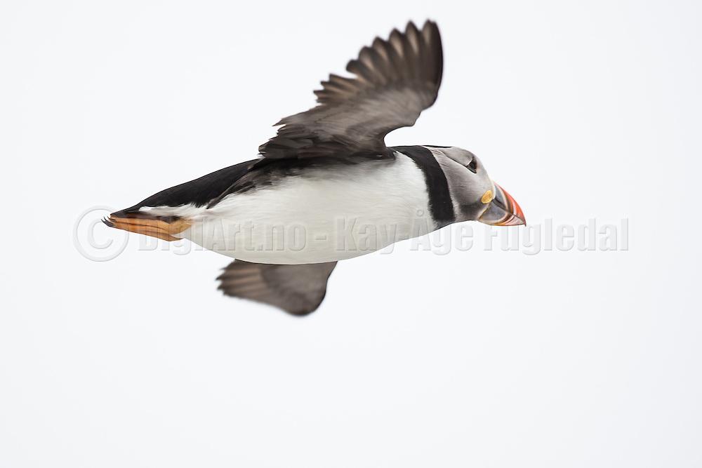 Puffin in flight at Hornøya, Norway   Lundefugl i flukt på Hornøya, Norge.