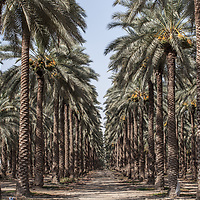 Through the Jordan Valley in the West Bank, large Israeli agricultural projects are run by settlers on illegal Israeli settlements. They produce fruit and vegetables and palm oil for export. These projects are all irrigated. <br /> <br /> Meanwhile, Palestinian villages in the same area have restricted and inadequate water supplies, and many are prevented from getting connections to the water network. <br /> <br /> in the northern part of the Jordan Valley, Israel has dismantled Palestinian irrigation systems and imposes the most restrictive water regime.