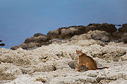 A female puma (Puma con color) also known as a mountain lion or cougar, sitting on a stromolite rock outcrop on a lake, Torres del Paine, Chile, South America