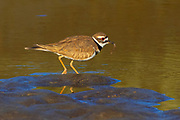 A killdeer (Charadrius vociferus) pulls food from the shallow waters of the Stillaguamish River near Stanwood, Washington.