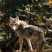Coyote (Canis latrans) in forest during the fall in the midwest.  Captive Animal.