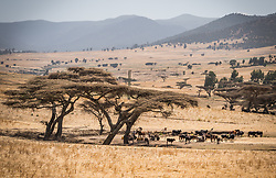 26 January 2019, Ethiopia: Animals rest in what shade is available on a field near Dodola town, Ethiopia.