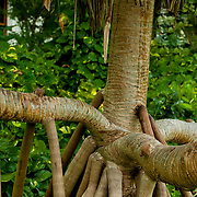 Tree roots grow quickly in the tropica; American Samoa