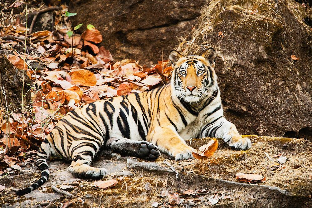 Bengal tiger (Panthera tigris tigris) laying on a rock in the evening , April, dry season;