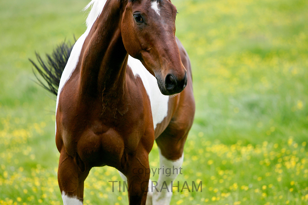 Skewbald  Horse, Oxfordshire RESERVED USE<br /> FINE ART PHOTOGRAPHY by Tim Graham
