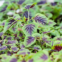 The green and red leaves of Amaranthus tricolor, often called Chinese Spinach or Red Stripe (hinn choy, yin tsoi, yin ssai).