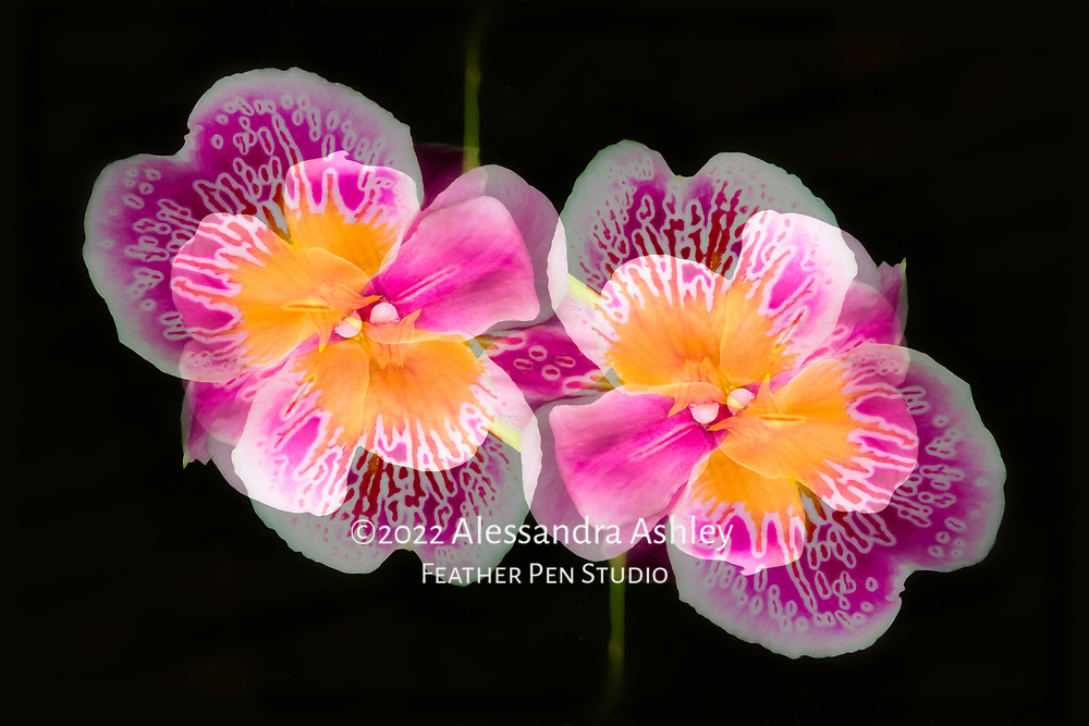 Bright and cheery pansy orchids (Miltonia), dark background. Oil paint effects blended with original photograph. Double exposure montage, original colors. Semifinalist, NANPA Showcase 2020.