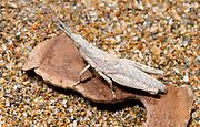 Close-up of the nymph of a Pyrgromorpha grasshopper sp. resting on a sandy beach in a coastal habitat Alagadi Turtle Beach near Kyrenia North Cyprus