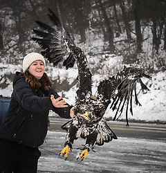 """Rachel Wheat, a graduate student at the University of California Santa Cruz, releases bald eagle (Haliaeetus leucocephalus) """"4P"""" back into the wild. Note the GPS transmitter on the eagle's back and the dual leg bands. One leg band is used by the researcher and the other is registered with the U.S. Geological Survey. Wheat is conducting a bald eagle migration study of eagles that visit the Chilkat River for her doctoral dissertation. She hopes to learn how closely eagles track salmon availability across time and space. The bald eagles are being tracked using solar-powered GPS satellite transmitters (also known as a PTT - platform transmitter terminal) that attach to the backs of the eagles using a lightweight harness. The latest location of this eagle can be found here: http://www.ecologyalaska.com/eagle-tracker/4p/ . During late fall, bald eagles congregate along the Chilkat River to feed on salmon. This gathering of bald eagles in the Alaska Chilkat Bald Eagle Preserve is believed to be one of the largest gatherings of bald eagles in the world. EDITOR'S NOTE: This image is a cropped version of the image I0000DKmhuipNOvQ."""