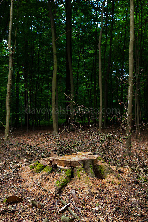 """Tree stump in the Sonian Forest, Foret de Soignes, or Zoniënwoud, an 11,000 hectare woodland to the southeast of Brussels, providing a """"green lung"""" for the polluted, traffic choked city. The forest is currently in three jurisdictions, Brussels, Flanders and Wallonia, but EU involvement in 2013 will see development of plans to re-unify the forest, for the benefit of humans and wildlife."""