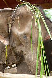 Elephant With Grasses On Head