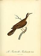 Tourtelette tambourette, Turtur tympanistria - Tambourine Dove from the Book Histoire naturelle des oiseaux d'Afrique [Natural History of birds of Africa] Volume 6, by Le Vaillant, Francois, 1753-1824; Publish in Paris by Chez J.J. Fuchs, libraire 1808
