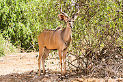 Male greater kudu (Tragelaphus strepsiceros). This large antelope lives in scrub and open forest in eastern and southern Africa, feeding on a wide variety of plants, including those rejected by other herbivores because of an unpleasant taste. The male possesses long, spiralling horns popular with trophy-hunters, meaning that this antelope is now endangered over much of its range. Although it is a large animal, the kudu can easily jump heights of over 2.5 metres. Photographed in Tanzania