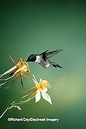 01162-052.19 Ruby-throated Hummingbird (Archilochus colubris) male on Yellow Columbine (Aquilegia chrysantha) Shelby Co.  IL
