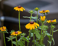 Black-eyed Susan. Image taken with a Leica CL camera and 90-280 mm lens.