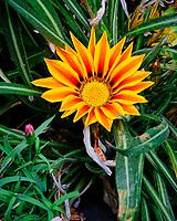 Orange Gazania. Image taken with a Fuji X-T3 camera and 80 mm f/2.8 macro lens (ISO 1000, 80 mm, f/11, 1/60 sec)