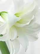 Hippeastrum (Double Galaxy Group) 'White Peacock' - double amaryllis