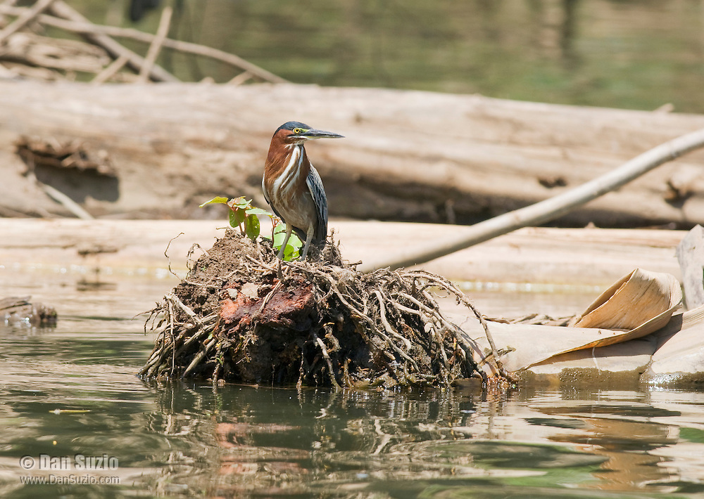 Green heron, Butorides virescens, perched on a fallen tree in the Tarcoles River, Costa Rica