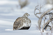 Greater sage grouse during winter