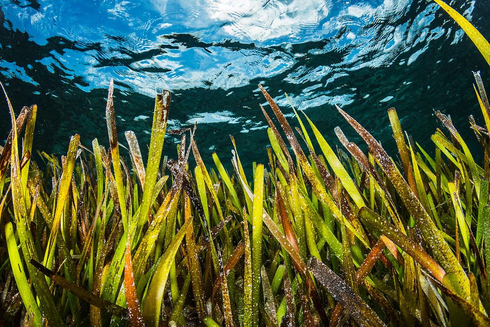 Turtlegrass (Thalassia testudinum), a type of seagrass, off Eleuthera Island, Bahamas.
