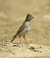 Lesser Short-toed Lark - Calandrella rufescens