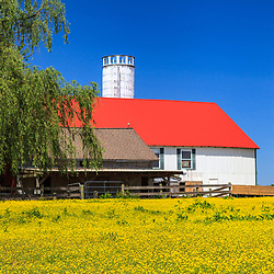 Ronks, PA, USA- May 17, 2012: A white barn with red roof and yellow spring flowers in field in Lancaster County, PA.