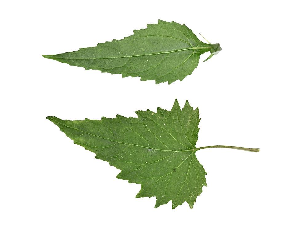 Nettle-leaved Bellflower - Campanula trachelium