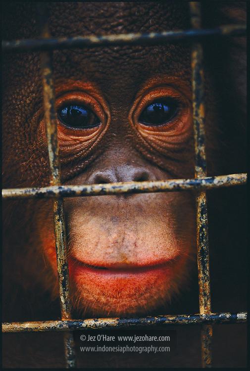 Rescued orangutan during transport to a rehabilitation center, Kutai, East Kalimantan, Indonesia.