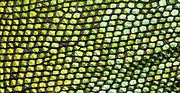 Close-up abstract of the skin pattern and texture of a Chinese water dragon (Physignathus cocincinus) at the Long Sutton Wildlife Park in Lincolnshire