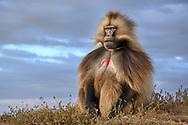 Ein Dschelada-Männchen (Theropithecus gelada), Simien Nationalpark, Debark, Region Amhara, Äthiopien / <br /> <br /> A Gelada male (Theropithecus gelada), Simien National Park, Debark, Amhara Region, Ethiopia