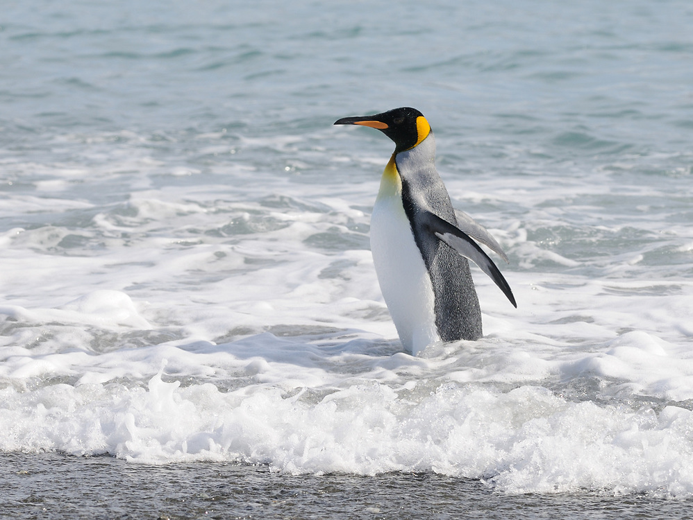 A King Penguin (Aptenodytes patagonicus) stands in the surf on the beach near the nesting colony on Salisbury Plain. Salisbury Plain, Bay of Isles, South Georgia. 19Feb16