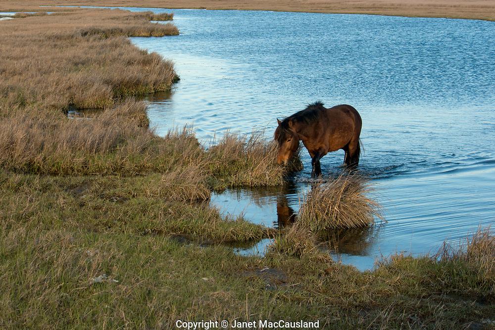 A chestnut brown wild stud horse traverses the salt creek in Assateague National Wildlife Refuge.