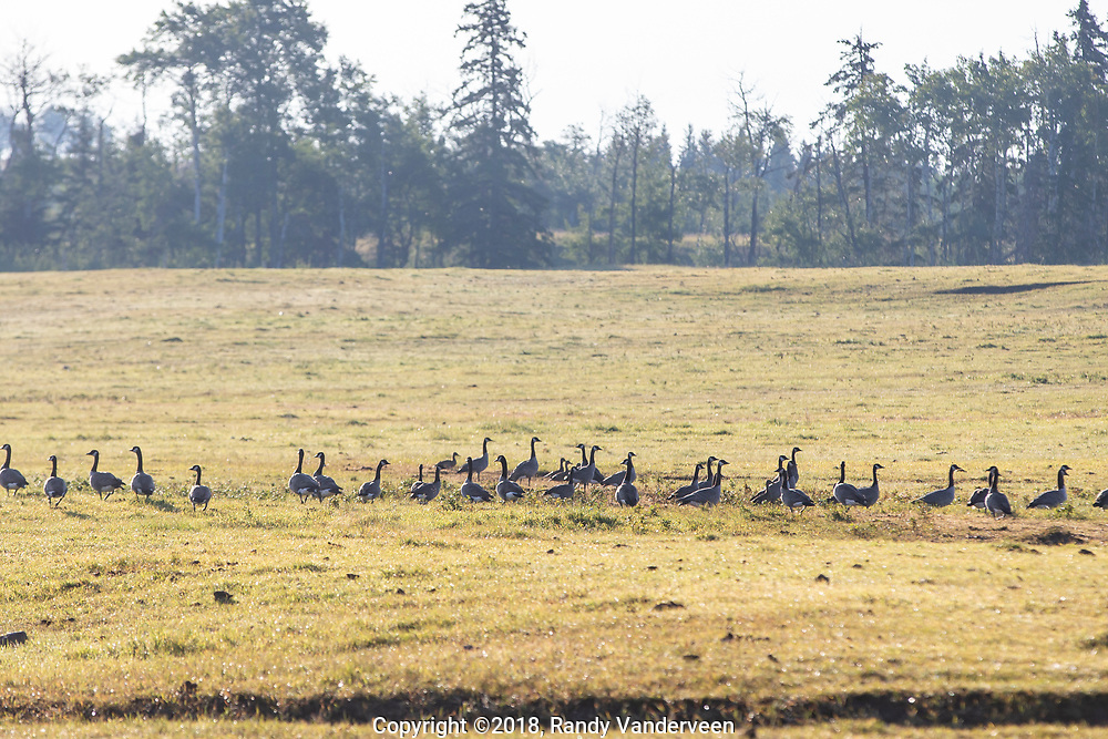 Photo Randy Vanderveen<br /> County of Grande Prairie, Alberta<br /> 2018-09-04<br /> A large flock of geese stage in a pasture at the Kleskun Hills Bison Ranch Tuesday Sept. 4. While some fields have already been harvested, the birds will have to wait for their annual buffet of gleaning grain from harvested fields as rain in the forecast later this week will likely put a pause on harvest in the Peace Country.