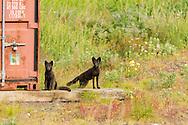 Arctic Fox (Alopex lagopus) near storage container on St. Paul Island in Southwest Alaska. Summer. Morning.