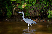 Grey Heron bird, Ardea cinerea, wading in the River Thames in Berkshire, UK