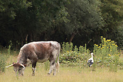 Longhorn cow and white stork (Ciconia ciconia). Sussex, UK.