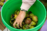 01 SEPTEMBER 2020 - ADEL, IOWA: Volunteers pack pears in Adel. Volunteers from Eat Greater DSM gleaned pears at the Dallas County Human Services Campus. The pears will be distributed to Des Moines emergency pantries, community centers, and churches. Gleaning is the act of collecting leftover crops from farmers' fields after they have been commercially harvested or gathering crops from fields where it is not economically profitable to harvest. It is an ancient tradition first described in the Hebrew Bible. A spokesperson for Eat Greater DSM said need has skyrocketed this year. In a normal year, they distribute about 300,000 pounds of food. Since the start of the COVID-19 pandemic in March, they've distributed more than 500,000 pounds of food.       PHOTO BY JACK KURTZ