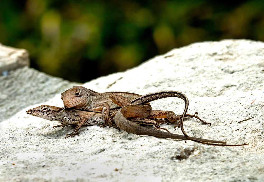 Mating brown anole lizards, Pasadena, Texas