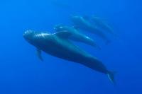Short-finned pilot whale, Globicephala macrorhynchus, Pico, Azores, Portugal